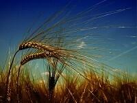Ученые вывели новый сорт пшеницы с высоким содержанием клетчатки